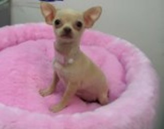 Chihuahua Puppies on Puppy For Sale   Puppies For Sale    Teacup Puppy Tea Cup Puppy